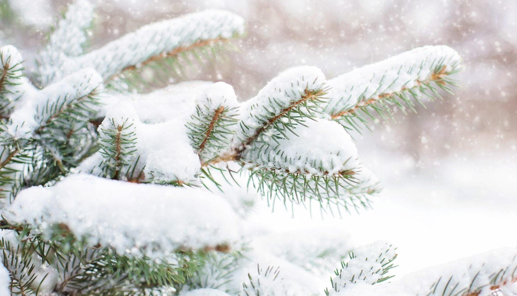 snow-covering-pine-tree-3334585