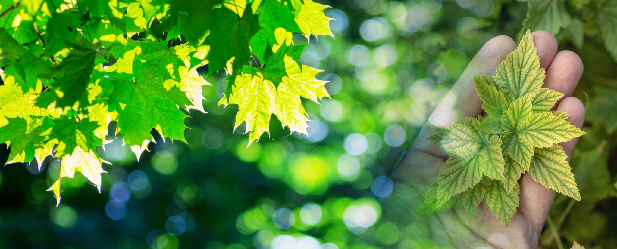 Tree blend Chlorosis vs healthy maple
